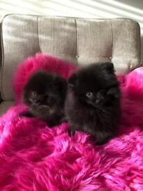 PEDIGREE male and female POMERANIAN puppies for SALE