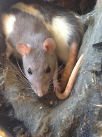 Two female rats and cage