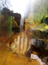 Male adult angel fish for sale