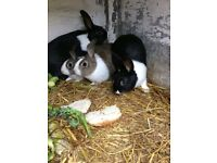 Young Dutch Rabbits for sale