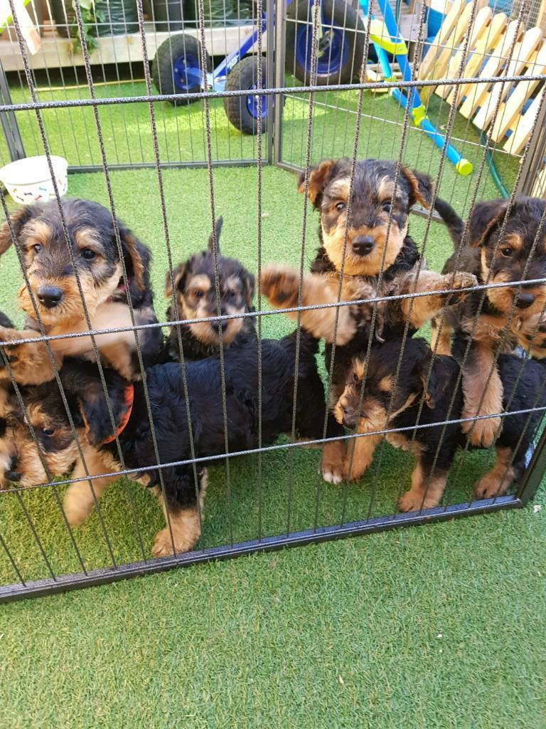 Airedale terrier puppies kc registered