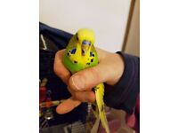 1 Male Budgie with Full Cage Setup For Sale