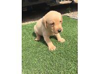 Beautiful KC Registered Yellow Labrador Puppies