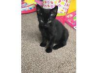 Black boy kitten needs a good home