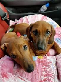 Pedigree dachshund males for sale