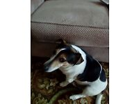7 year old Jack Russell