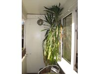 Mature Yukka plant (ca 2.5mtr high)