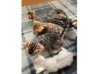 Beautiful Pure Bengal Kittens