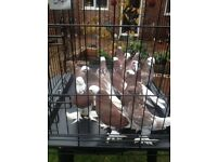 Kurdish pigeons for sale