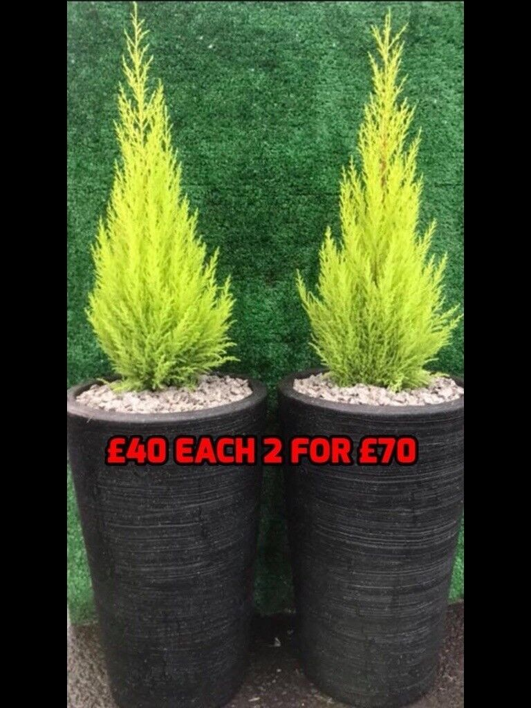 Conifer trees in large pots