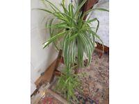 Spide plant Chlorophytum Mature pendent House plant Art Nouveau Ceramic Planter