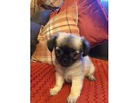 Chihuahua X pug puppies