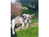 Adorable litter of Tricolour Merle French Bulldog puppies 3 Boys 1 Girl READY TO GO