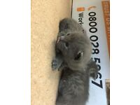 Kittens silver and beige tabby x Siamese