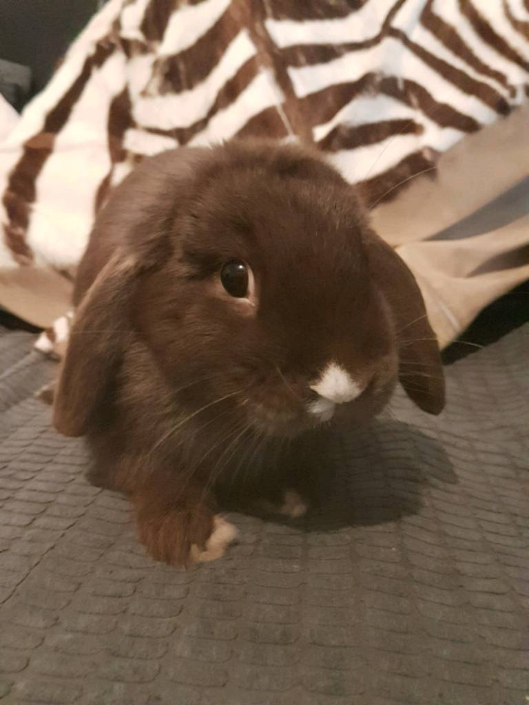 Very friendly Mini Lop
