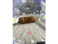 Only 1 girl left pra clear red cockerpoo puppies for sale