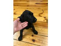Labrador puppies sold!sold!