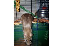 4 little lovely rats for adoption