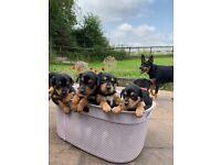 Kelpie Pups