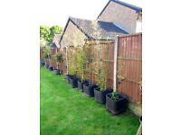 Bamboo black 6 potted plants