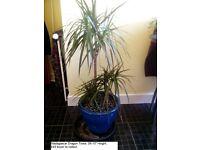 3 x Madagascar Dragon Trees in Vase