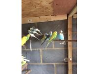 Beautiful, healthy and happy budgies