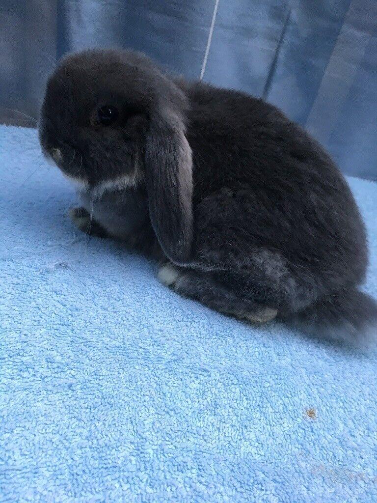 Minilop bunny for sale.