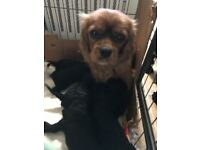 Beautiful cavapoo pups available this weekend