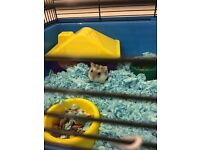 Grey and White Dwarf Hampster Female
