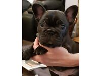 Quality French Bulldog Brindle Bitch Available