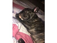 KC Registered Male French Bulldog Puppy