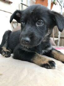 German Shepard X Husky Puppies