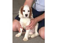 Cocker spaniel puppy 1 girl left 12 weeks old