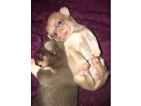 Gorgeous Lilac Chihuahua Girls ONE LEFT