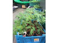 Tomato plants and Runner beans plants