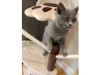 British blue 4 month kitten, the most beautiful well behaved loving kitten, will be missed