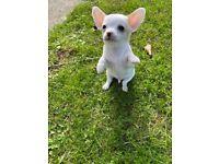 Chorkie/ Chihuahua Puppies