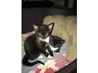 2 Female part Siamese kittens for sale
