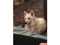 1 year old white husky x German shepherd