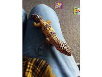 Leopard Gecko and 3ft viv