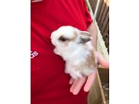 Two lovely baby male bunnies for sale