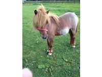 32 inch miniture shetland pony