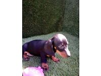 *Ready to go* PRA clear dachshund puppies
