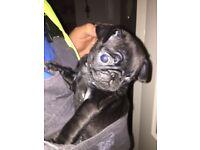 Last black girl pug puppy