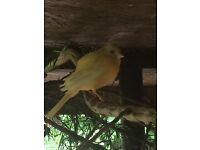 Canary Red Factor Hen For Sale