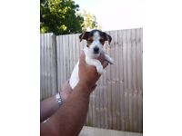 jack russell puppy boy