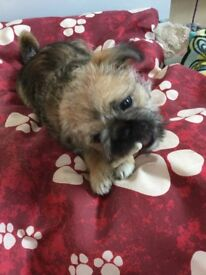 Shihtzu x pug girl puppy last one