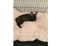 French bulldog Girl 8 weeks really to go mirco chipped first injection refleaed & dewormed