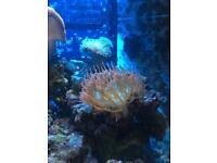 Anemone Marine