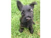 Scottish terrier x cairn terrier puppies